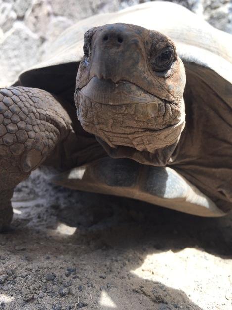 Paloma Tortoise
